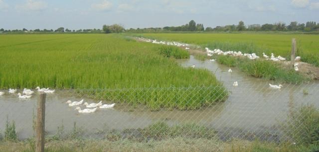 image canard dans rizière